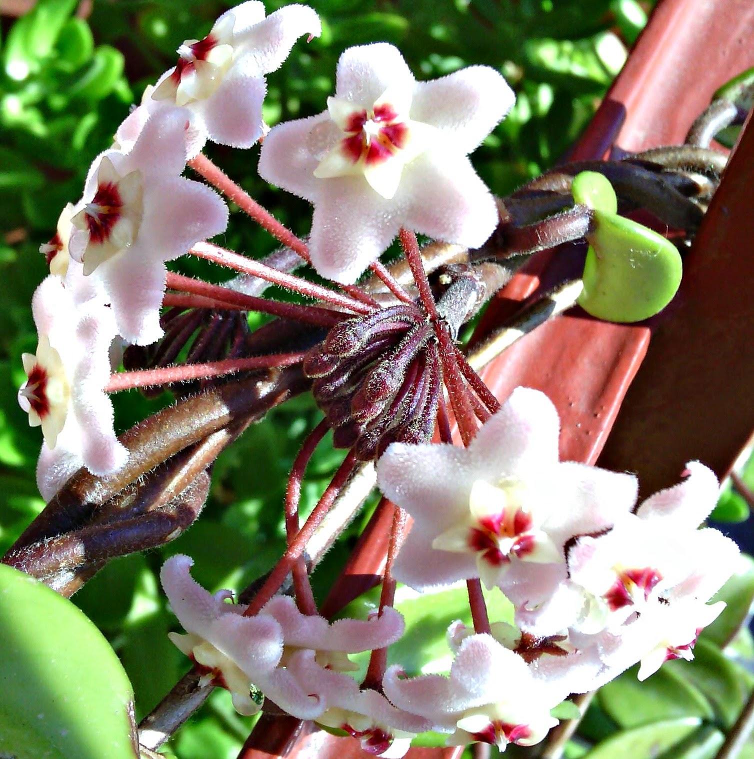 Creazioni e manufatti di aldina collana i fiori di cera for Pianta fiori di cera