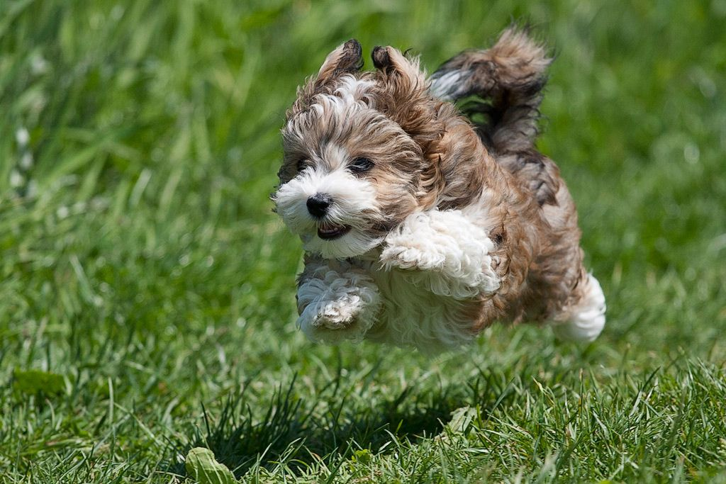 Flying Havanese Puppy