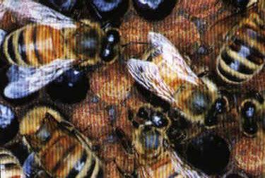 5 Besar Serangga Mengerikan Dunia