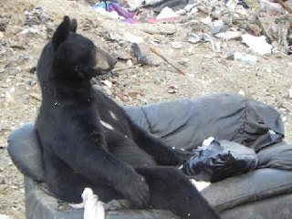 funny picture black bear sitting on the couch