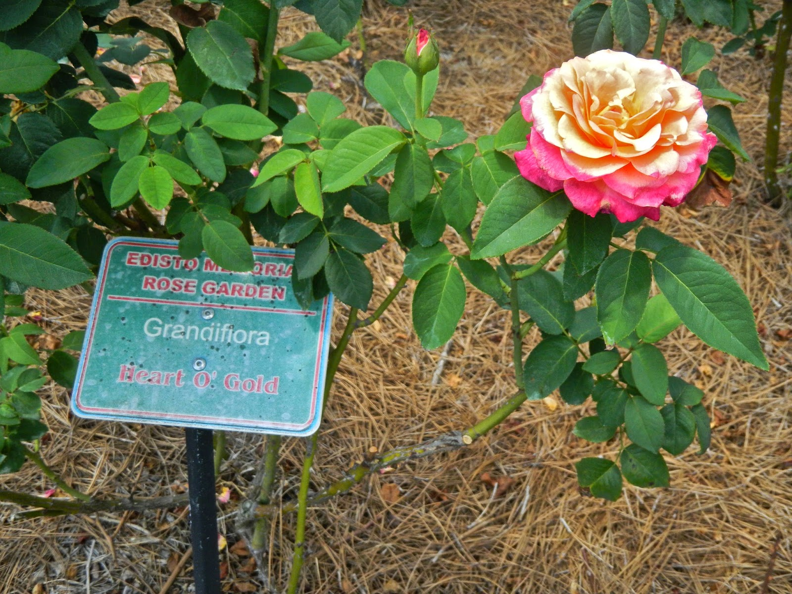 """Heart O' Gold"" rose at Edisto Memorial Gardens"