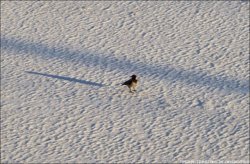 Ворона на снегу фото в Петербурге