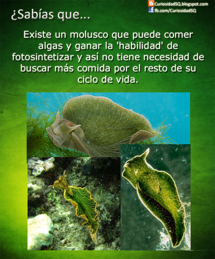 Sab as que el molusco que se comporta como animal y planta - Como se planta el bambu ...