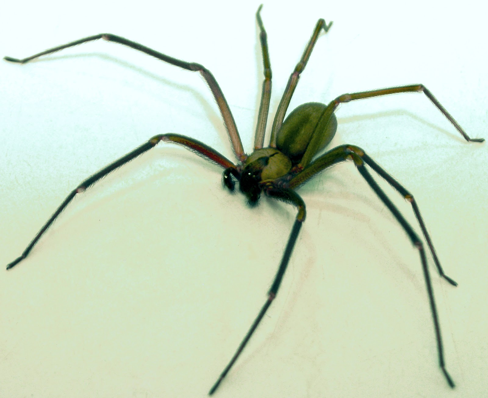 Brown Recluse Spider Bite Pictures