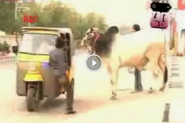 Funny Pakistani Cow in Rikshaw Eid  Qurbani 2014 pics, Funny Pakistani Cow in Rikshaw Eid  Qurbani 2014 cows, Funny Pakistani Cow in Rikshaw Eid  Qurbani 2014Cow Run Away, Cow runnig on road, bull ran away video, cow qurbani videos, cow pic 2014, cow eid, cow eid 2014,