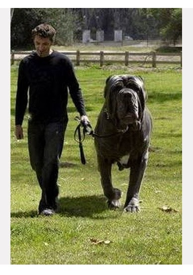 The 10 largest Dog Breeds