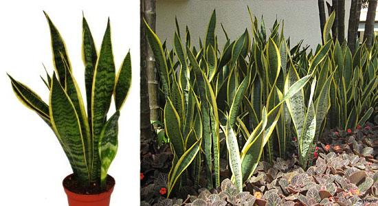 Plantas para purificar o ar - Espada-de-São-Jorge - Sansevieria trifasciata