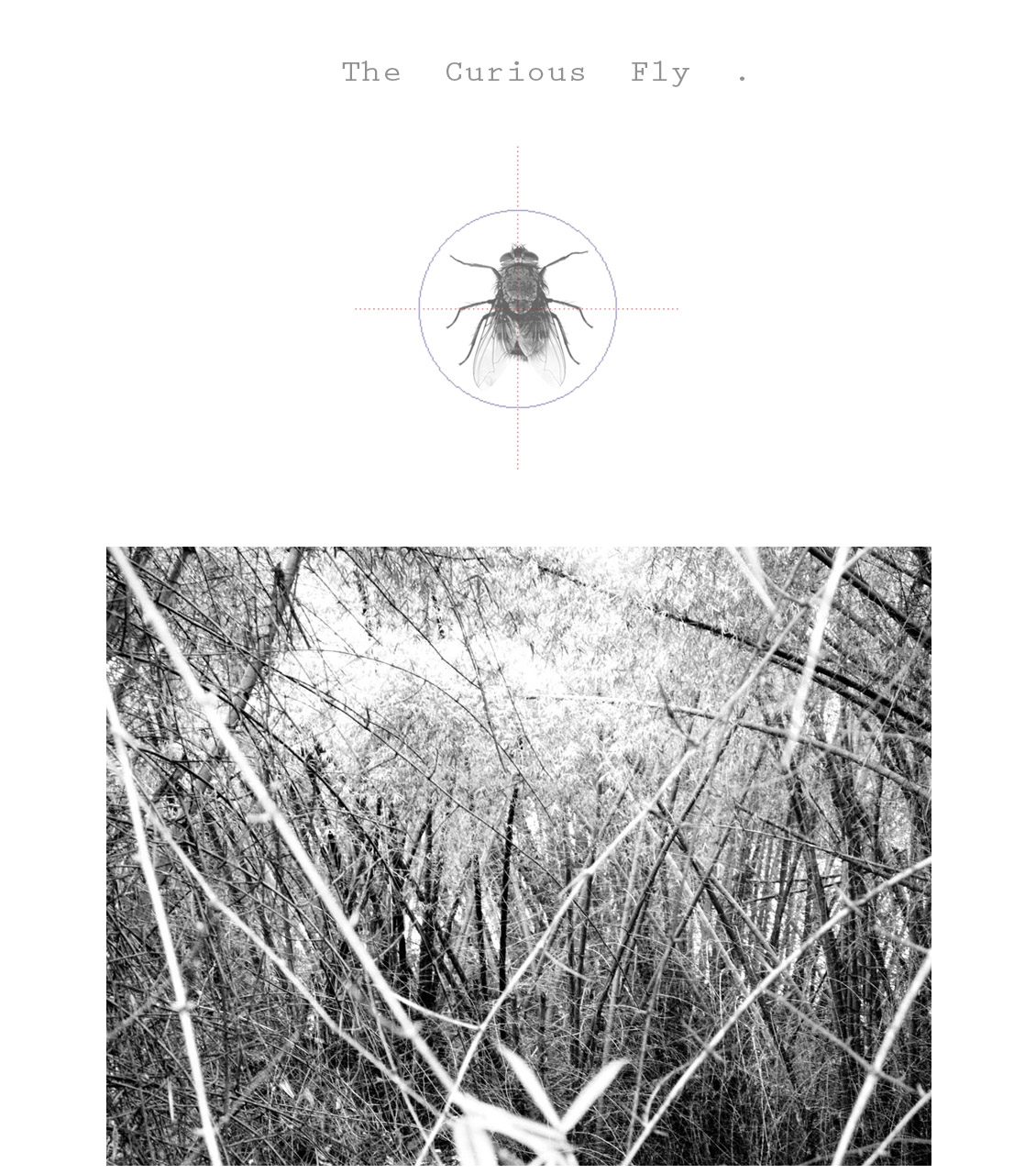 ┼    The Curious Fly    ┼