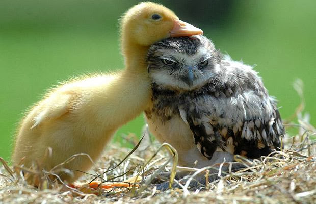 Funny animals of the week - 20 December 2013 (40 pics), chick and baby owl