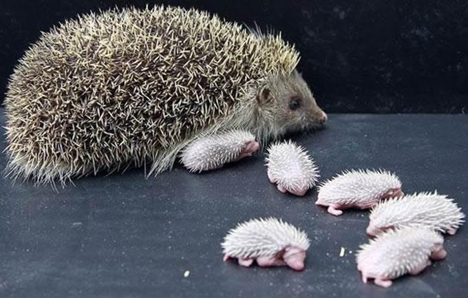 anak hedgehog baru lahir