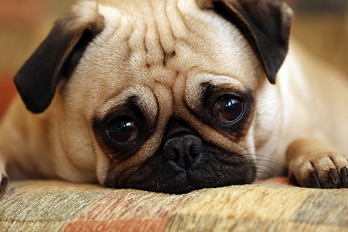 Pug Puppy/Dog