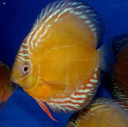 Criadero de peces ornamentales septiembre 2012 for Peces ornamentales