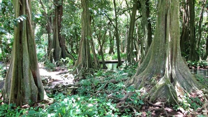 Forêt de Mape du jardin botanique de Papeari