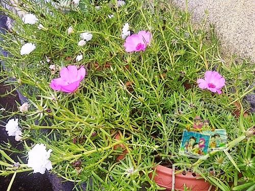 Bercucuk tanam Bunga Ros Jepun
