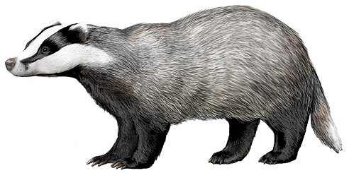 A European badger