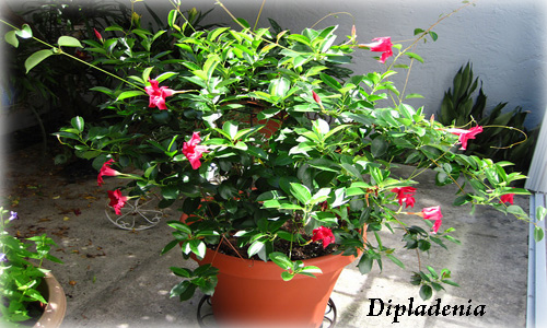 House plants list the beautiful house plant dipladenia - Beautiful house plants ...