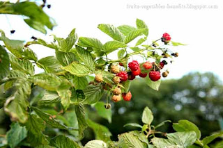 benefits_of_eating_raspberry_fruits-vegetables-benefits.blogspot.com(benefits_of_eating_raspberry_11)