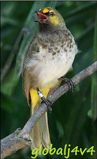 Burung Rengganis