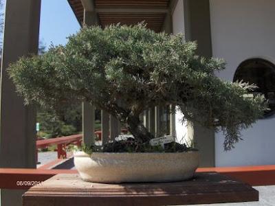 Como cuidar un bonsai consejos imagenes videos - Como cuidar bonsais ...