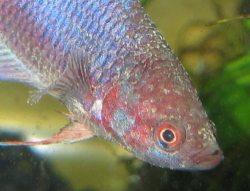 Betta disease velvet nice betta for Betta fish fungal infection