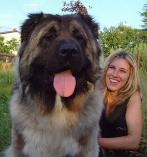 mastiff dog english tibetan korean puppy breeds hound canine pooch ... Leonberger Attack