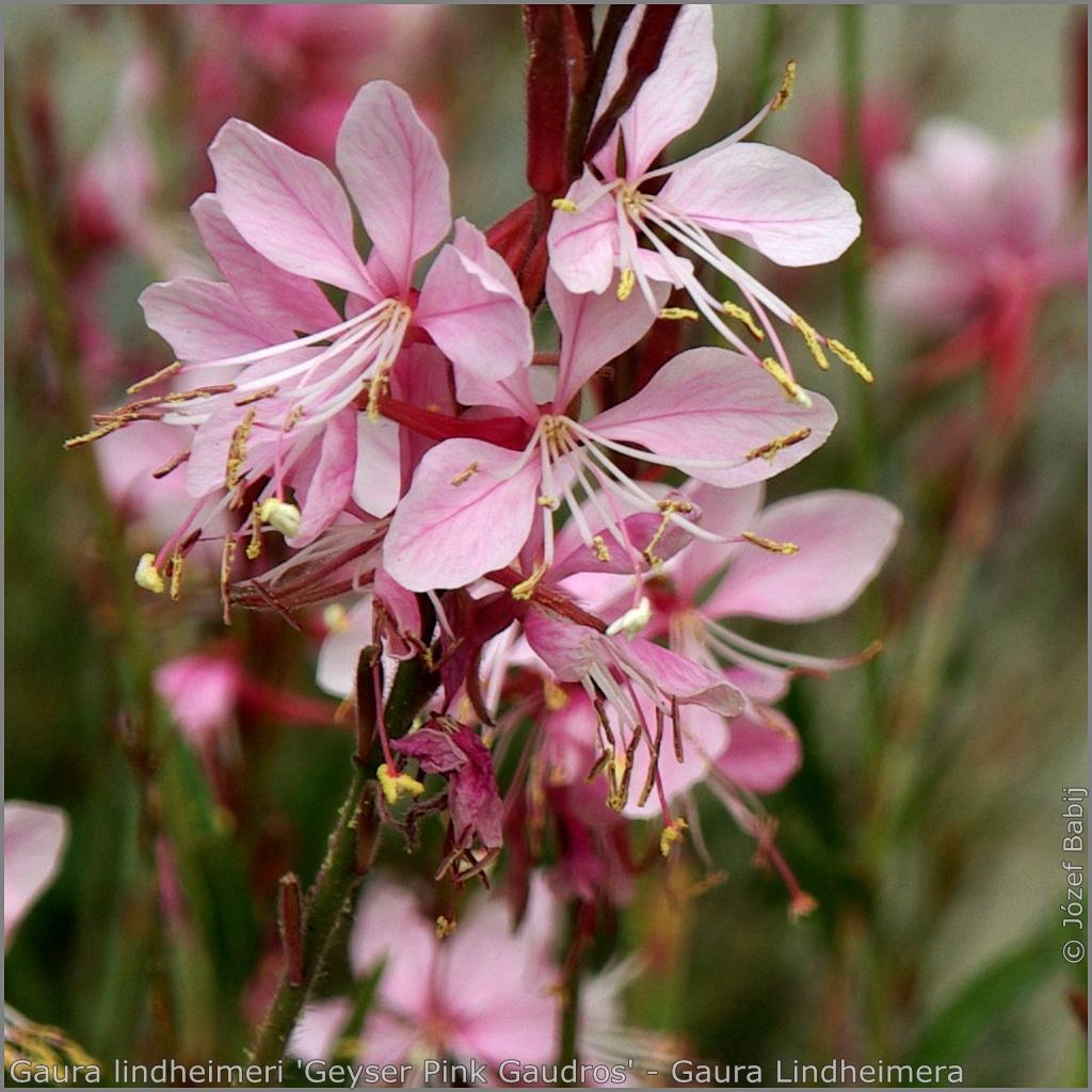 Gaura lindheimeri 'Geyser Pink Gaudros' flowers - Gaura Lindheimera  'Geyser Pink Gaudros'   kwiaty