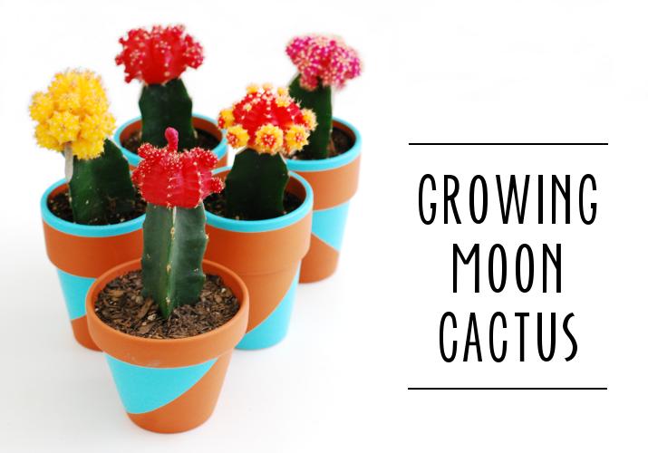 whimzeecal diy friday growing moon cactus tutorial, Natural flower