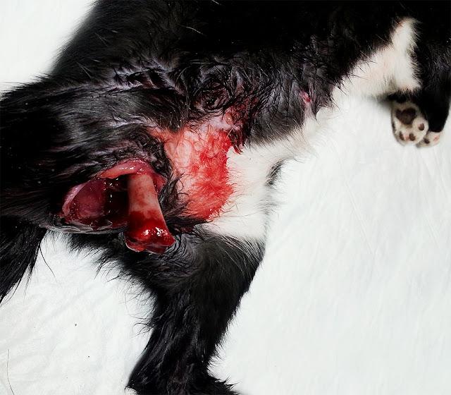 fractura abierta femur gato