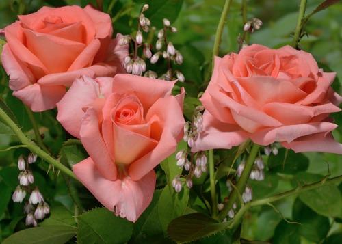 Fortuna rose сорт розы фото