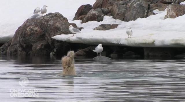 Urso polar planta bananeira debaixo d'água