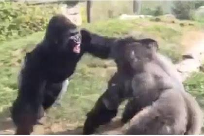 Dua Gorila Besar Adu Jotos Buat Pengunjung Ketakutan