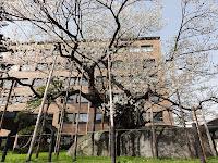 石割桜12