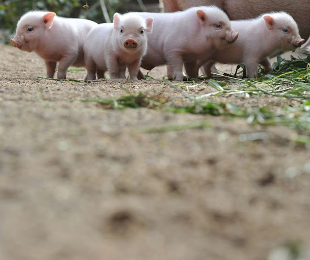 baby animals, cute animals, baby pigs