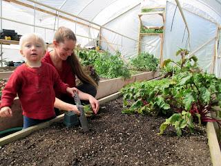 greenhouse garden, transplanting fennel