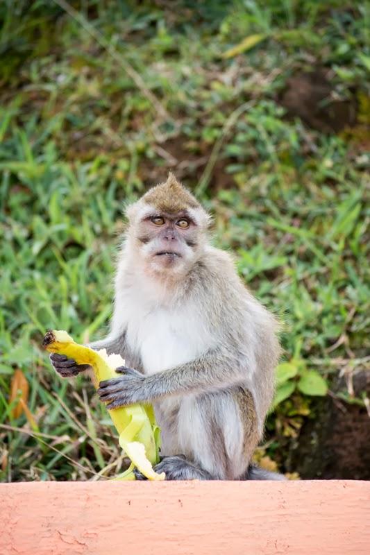 Singe avec une banane dans les pattes à Grand Bassin, Ile Maurice