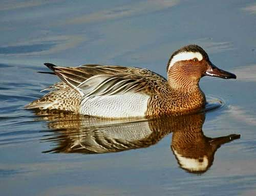 Indian birds - Image of Garganey - Spatula querquedula