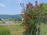 目に鮮やかな真っ赤な花が咲く「金宝樹」が気になった!