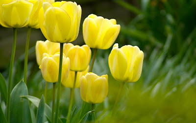 Tulips Pictures