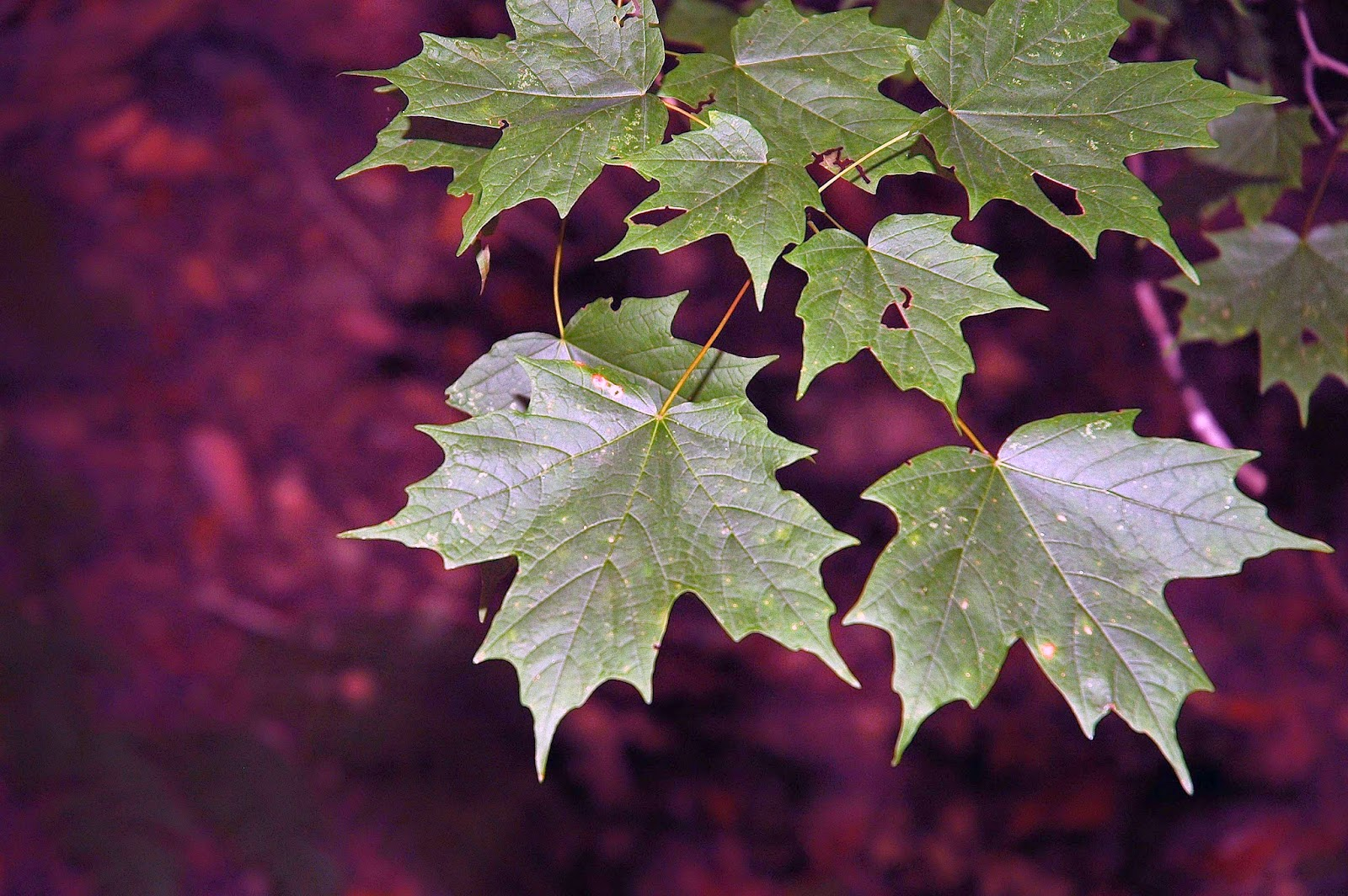 Sugar Maple Acer Saccharum Is By Far One Of The Most Dominant Trees Forests In Eastern US And Canada It An Important Species