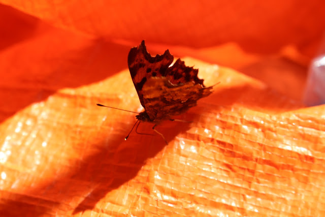 A comma butterfly on our recycling bag in our kitchen