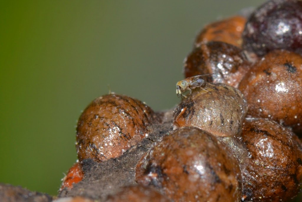 parasitic wasp laying eggs on scale insects