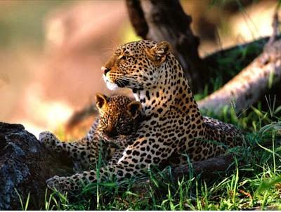 Cheetah-animal
