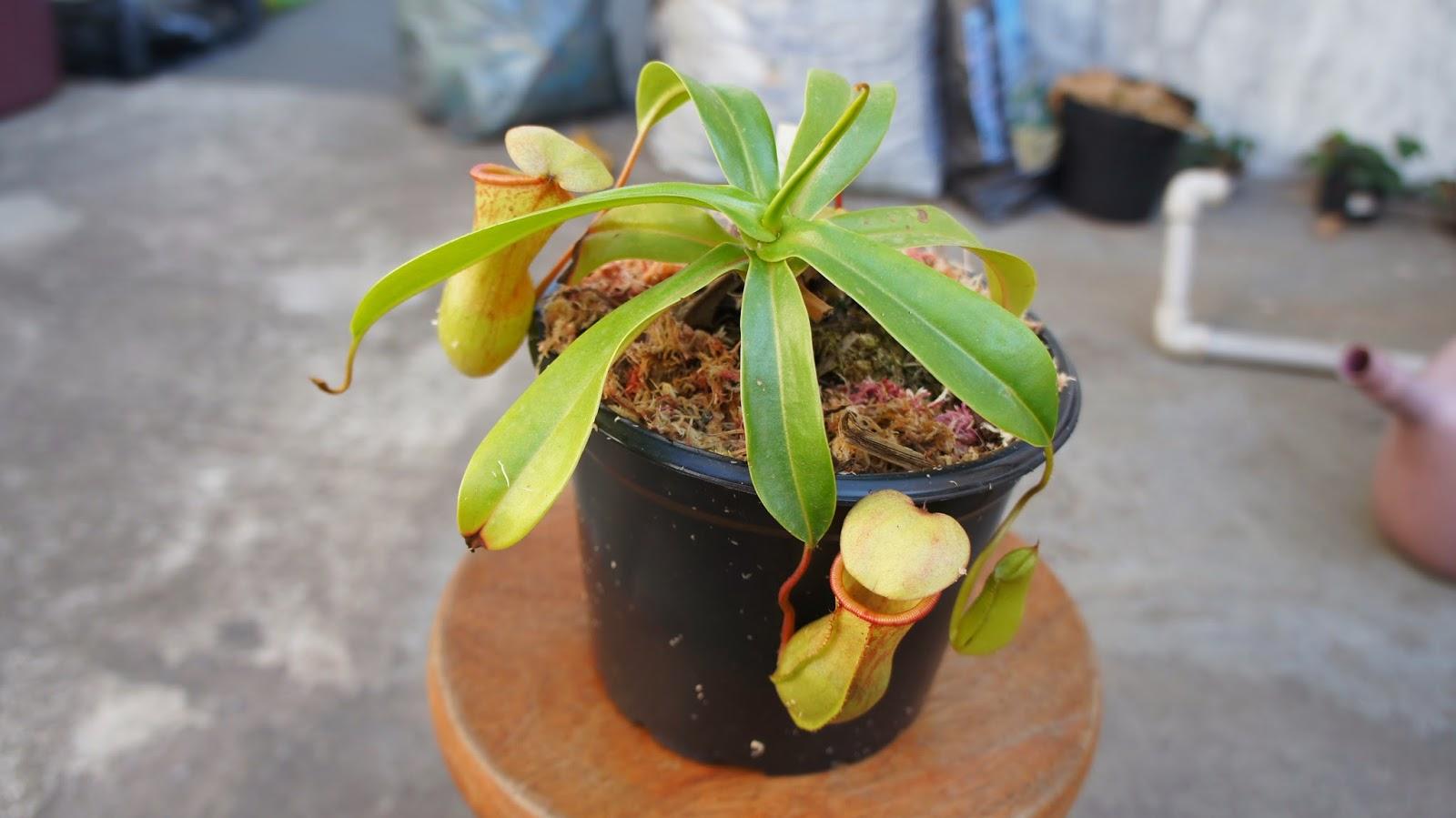 Devorador do pecado como cultivar plantas carnivoras for Como cultivar plantas ornamentales