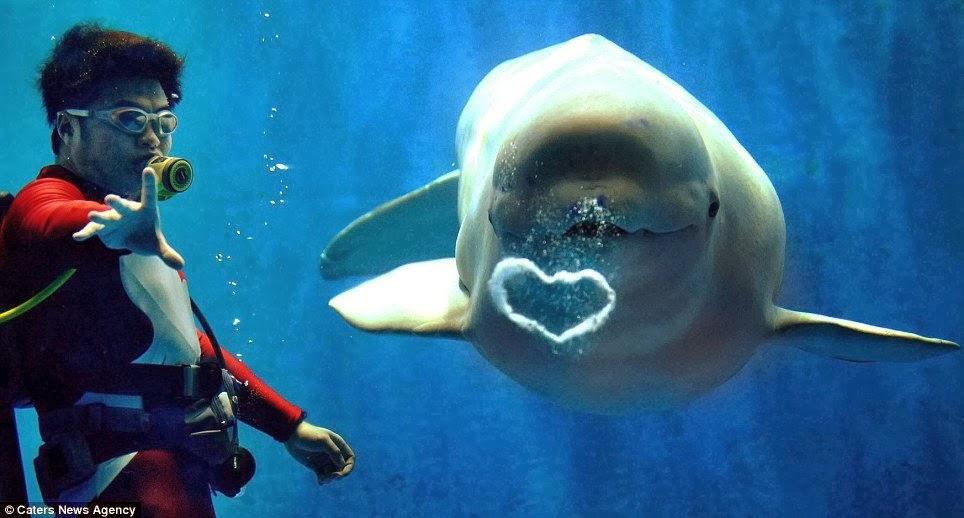 Beyaz balinaların nüfusu ve düşmanları