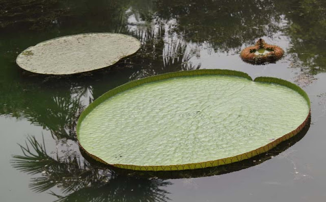 Giant Water lily Flowers Pictures