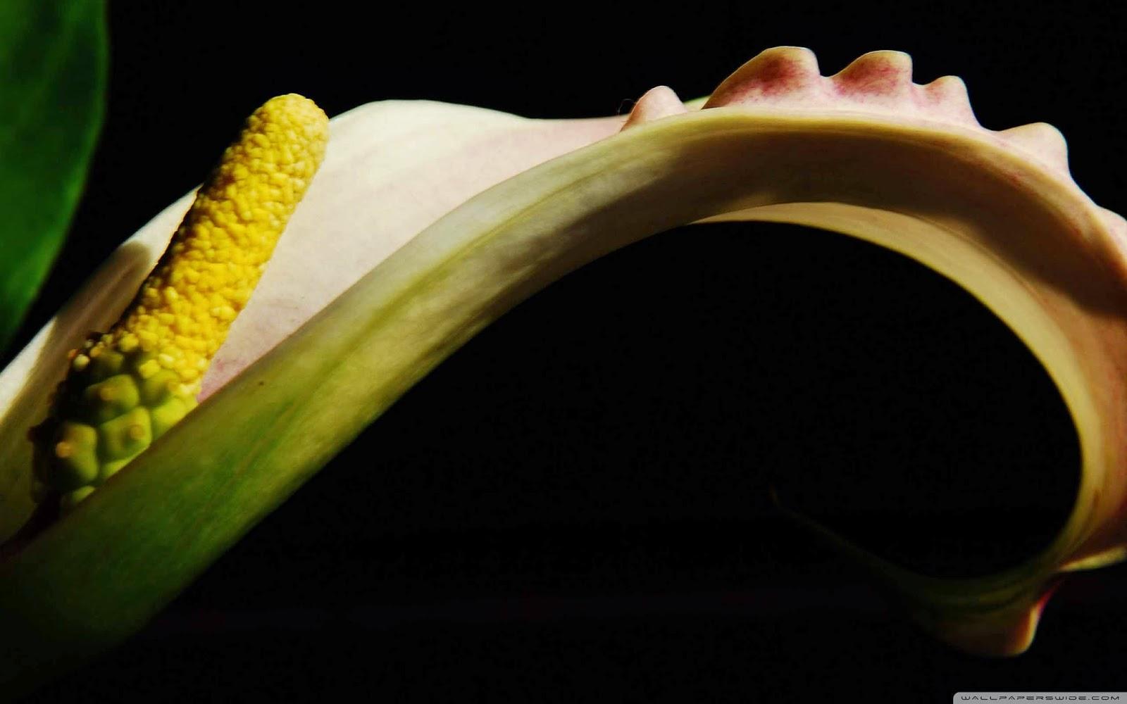 zantedeschia flower wallpaper