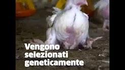 Gli Animali più Uccisi... Un video di Anima Equality  (clicca su foto)