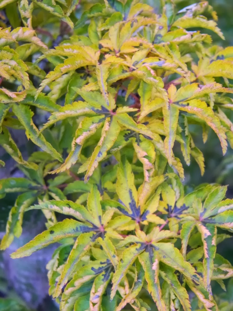 Acer palmatum Shishigashira Lion's Head Japanese maple autumn leaf colour by garden muses-a Toronto gardening blog
