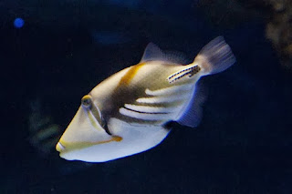 White-banded triggerfish
