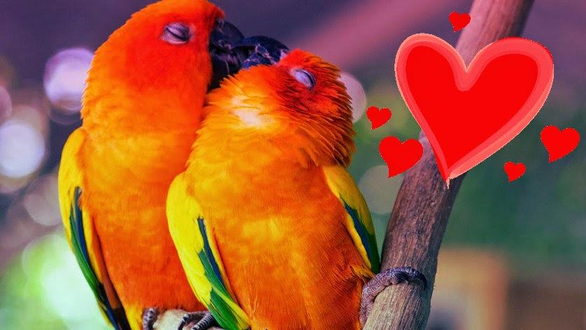 Dois passarinhos se beijando. Não sei que espécie eles são, mas são bem coloridos.